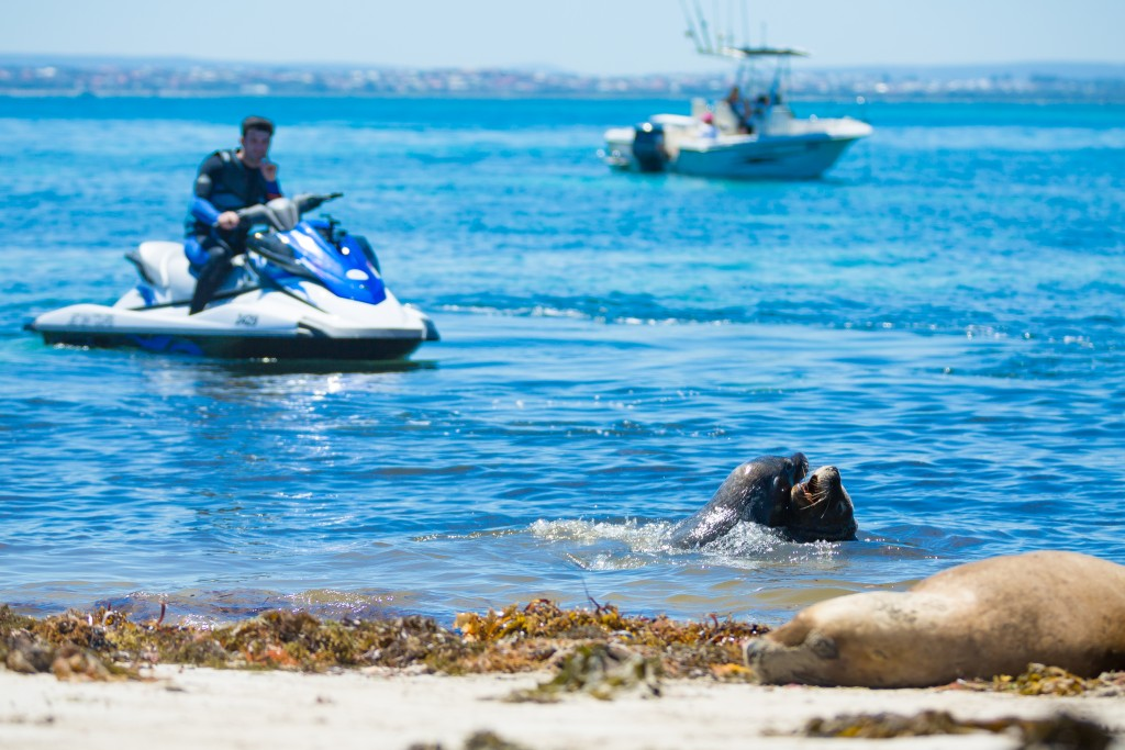 Jet Ski Tours Perth enjoy meeting dolphin on the Rockingham waters